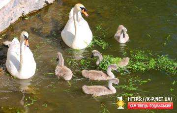 Лебеді підростають