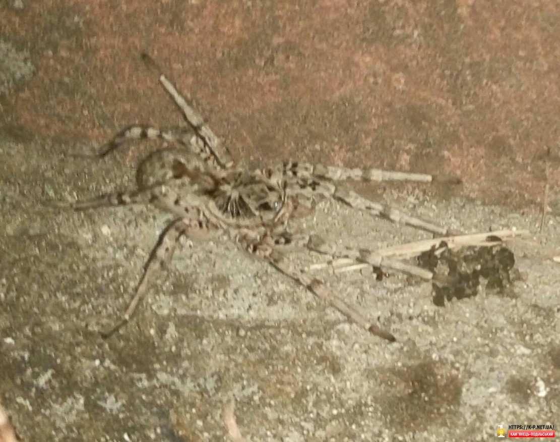 Обережно тарантули в Кам'янці!